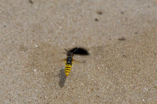 European beewolf (Philanthus triangulum) photo