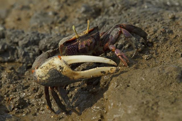 European fiddler crab (Uca tangeri) photo