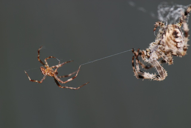 European Garden Spider, Cross Spider (Araneus diadematus) photo
