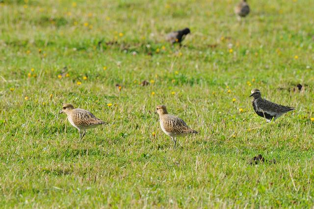 European Golden Plover (Pluvialis apricaria) photo