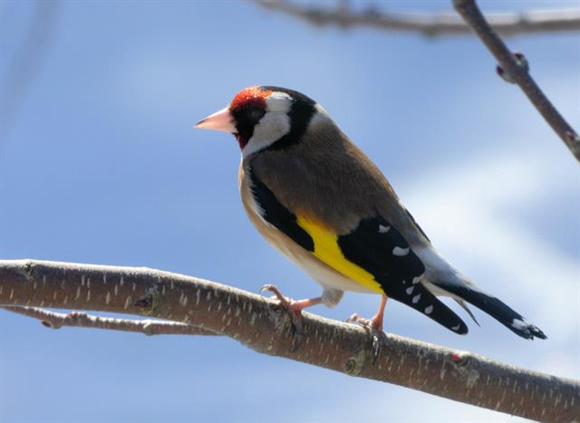 European Goldfinch (Carduelis carduelis) photo