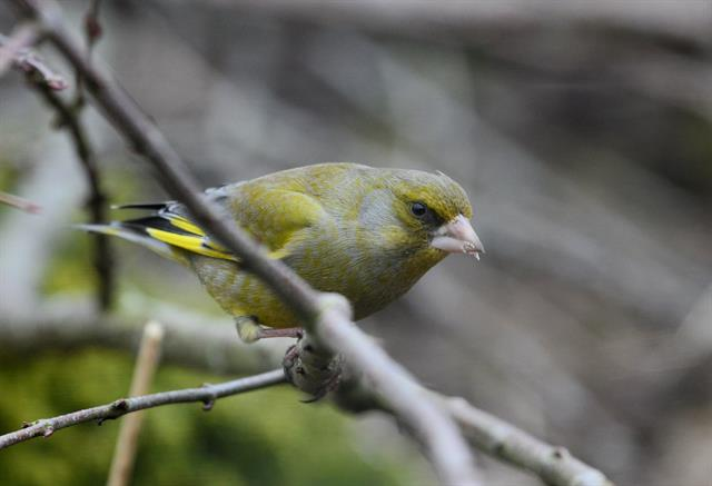 European Greenfinch (Carduelis chloris) photo