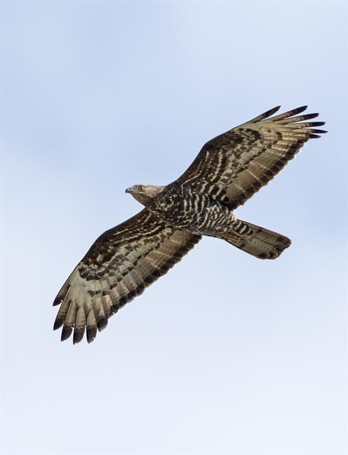 European Honey-buzzard (Pernis apivorus) photo