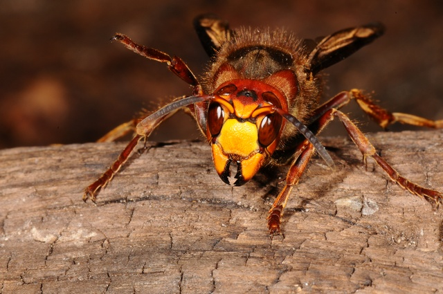 European hornet (Vespa crabro) photo