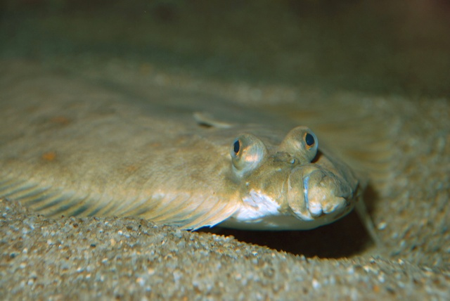 European plaice   (Pleuronectes platessa) photo