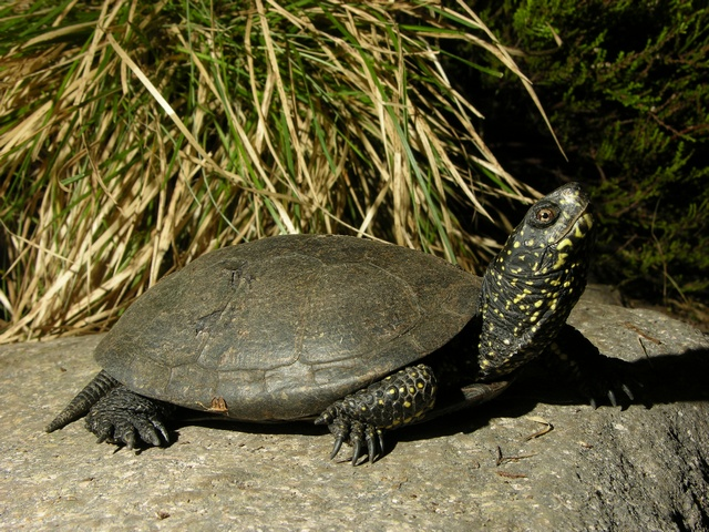 European Pond Turtle (Emys orbicularis) photo