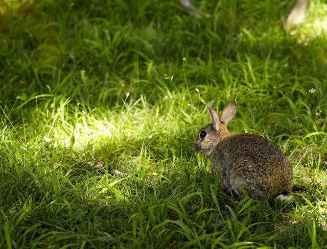 European Rabbit (Oryctolagus cuniculus) photo