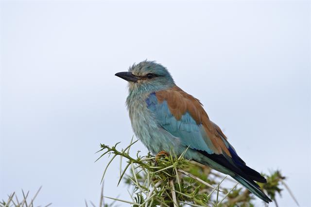 European Roller (Coracias garrulus) photo