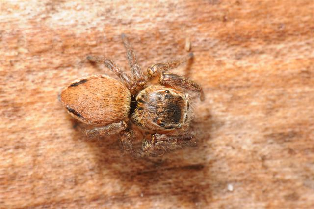 Evarcha flammata (Evarcha falcata) photo