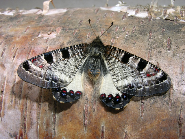 False Apollo (Archon apollinus bellargus) photo