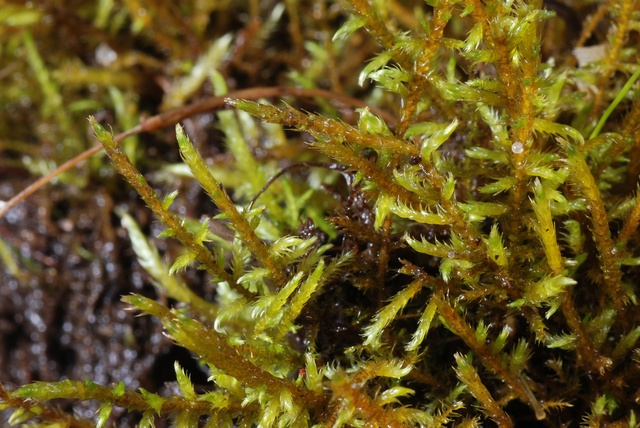 Fern-leaved Hook-moss (Cratoneuron filicinum) photo