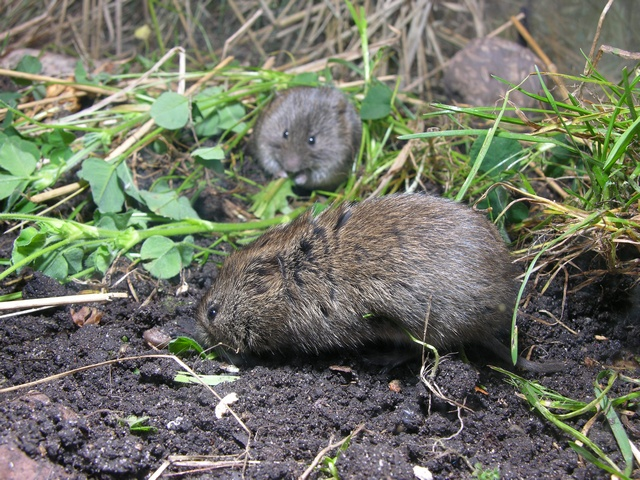 Field vole (Microtus agrestis) photo
