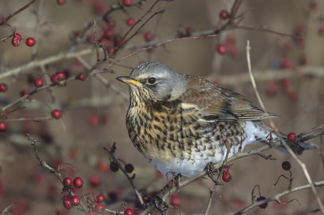 Fieldfare (Turdus pilaris) photo