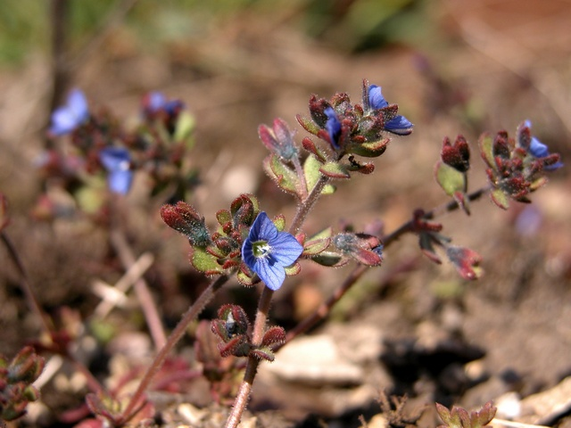 Fingered Speedwell (Veronica triphyllos) photo
