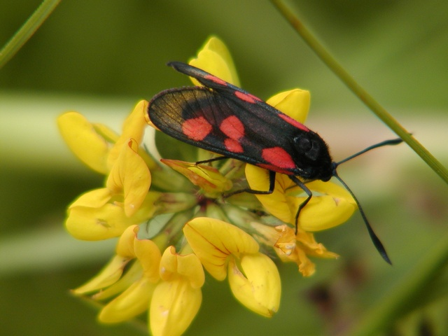 Five-spot Burnet (Zygaena trifolii) photo