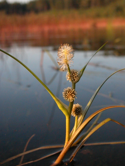 Floating Bur-Reed (Sparganium angustifolium) photo