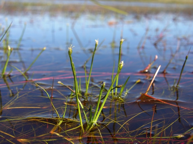 Floating Club-rush (Isolepis fluitans) photo
