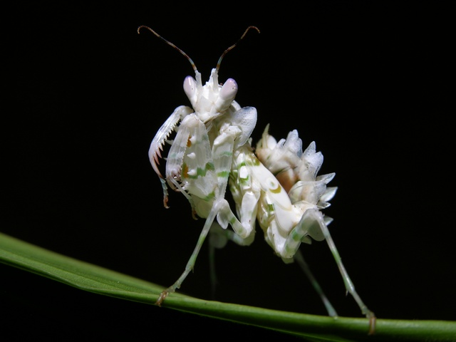 Flower Mantid (Pseudocreobotra ocellata) photo
