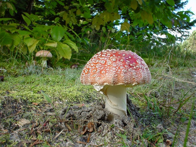 Fly Agaric (Amanita muscaria) photo