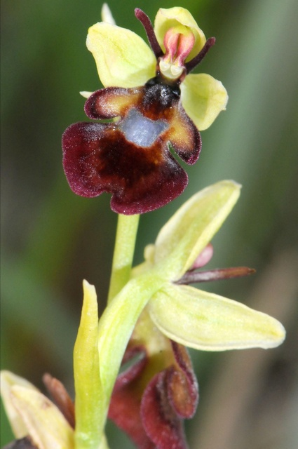 Fly Orchid (Ophrys insectifera) photo