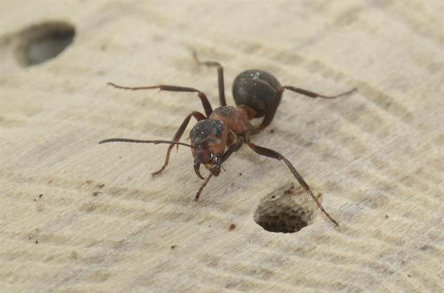 Horse ant, southern wood ant (Formica rufa)