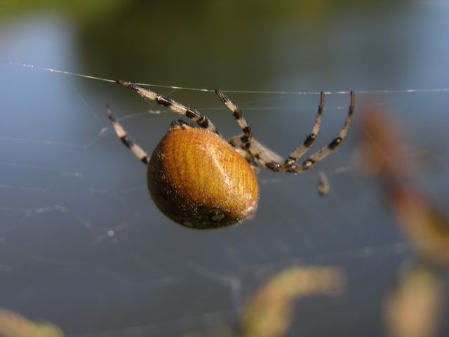 Four Spot Orb Weaver (Araneus quadratus) photo