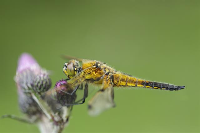 Four-spotted Chaser (Libellula quadrimaculata) photo