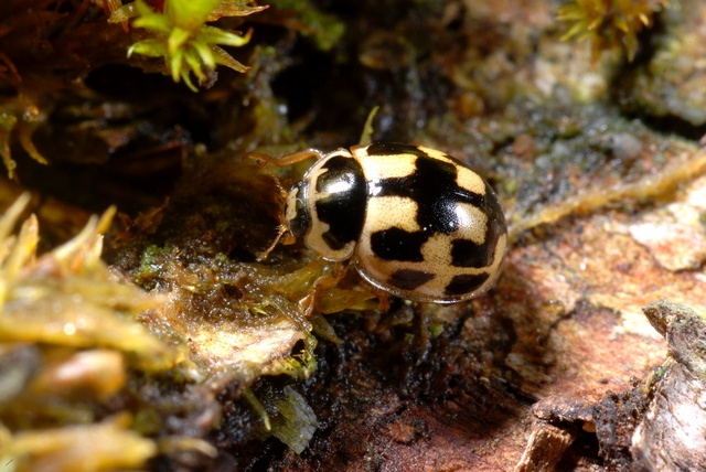 Fourteen-spotted Lady Beetle (Propylea quatuordecimpunctata) photo