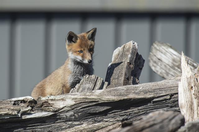 Fox (Vulpes vulpes) photo