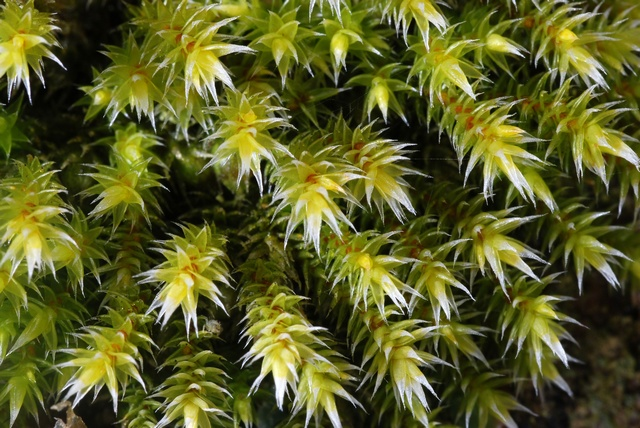 Fringed Hoar-moss (Hedwigia ciliata) photo