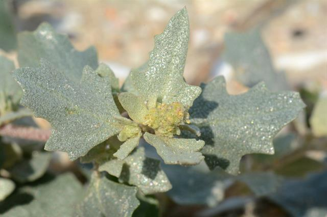 Frosted Orache (Atriplex laciniata) photo