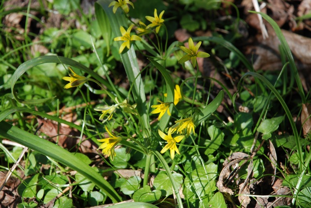 Yellow Star of Bethlehem (Gagea lutea)