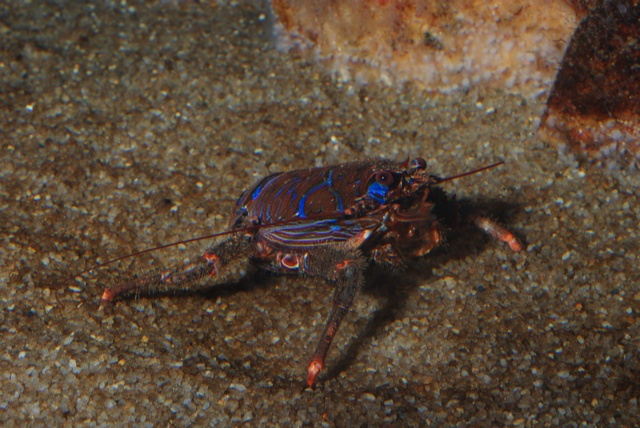 Squat Lobster (Galathea strigosa)