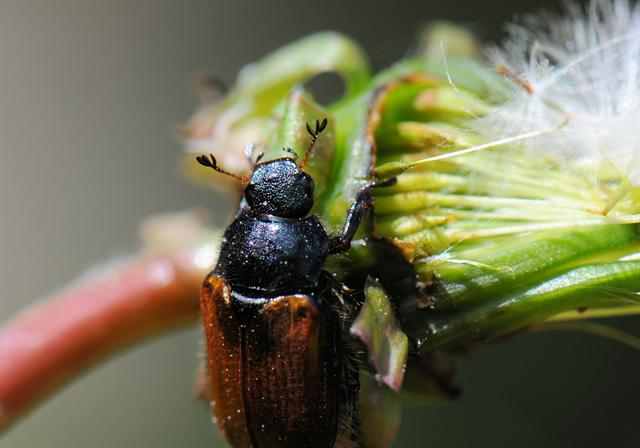 Garden Chafers (Phyllopertha horticola) photo