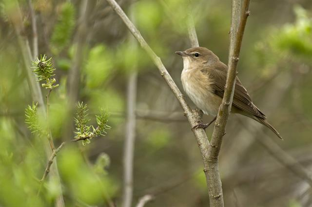 Garden Warbler (Sylvia borin) photo