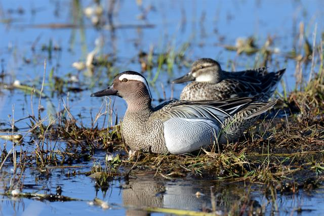Garganey (Anas querquedula) photo