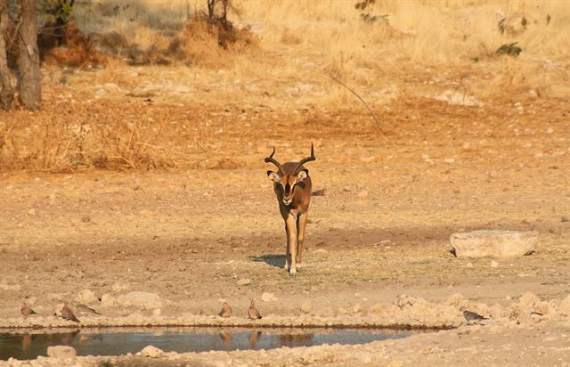 Black-Faced Impala (Aepyceros melampus petersi)