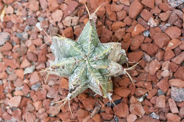 Image of Astrophytum ornatum