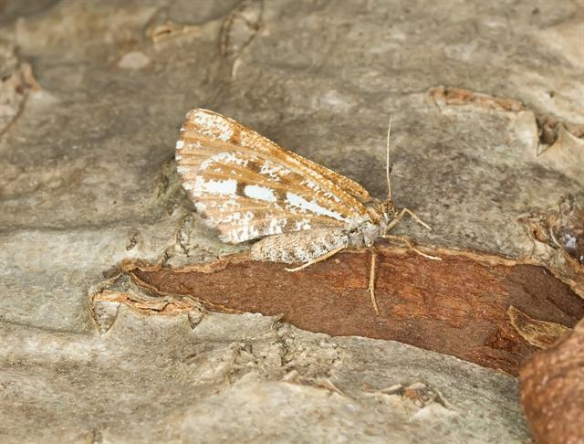 Bordered White (Bupalus piniaria)