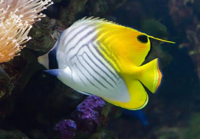 The Threadfin Butterflyfish (Chaetodon auriga)