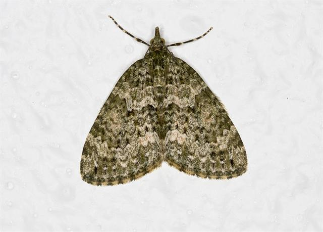 Autumn Green Carpet (Chloroclysta miata)