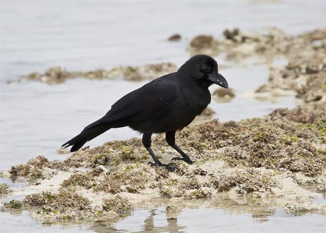 Jungle crow (Corvus macrorhynchos)