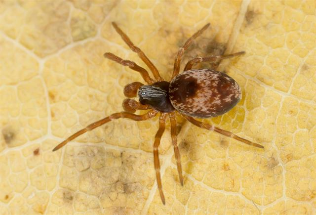Dictyna sp.