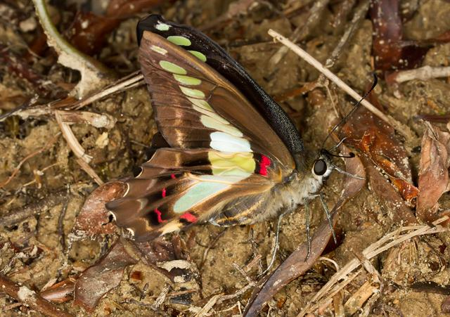 Blue Triangle Butterfly (Graphium sarpedon)