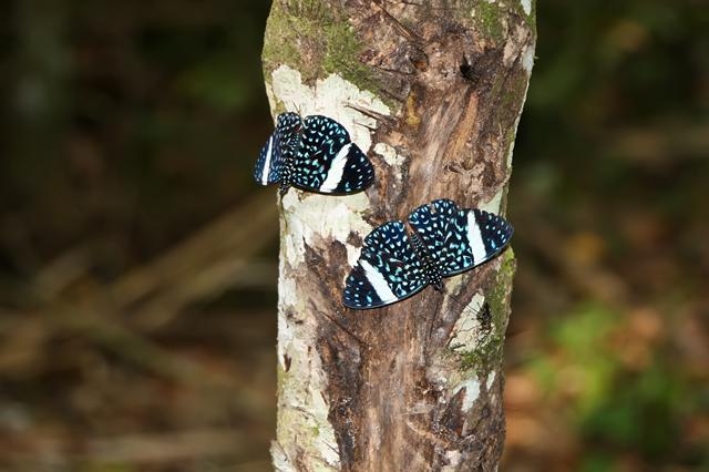 Starry Night Cracker (Hamadryas laodamia)
