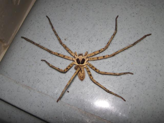 Brown huntsman (Heteropoda venatoria)