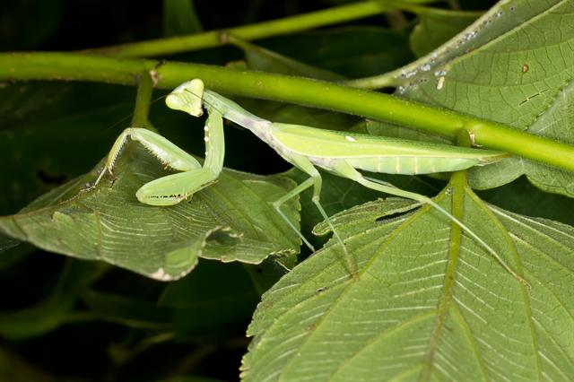 Giant Asian Mantis (Hierodula patellifera)