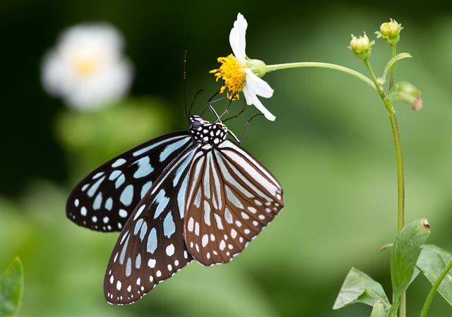 Ceylon Blue Glassy Tiger (Ideopsis similis)