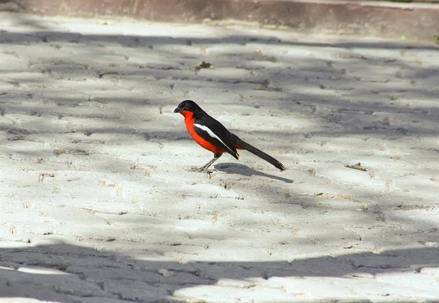 Crimson-breasted Gonolek (Laniarius atrococcineus)