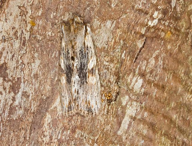 Pale Pinion (Lithophane socia)